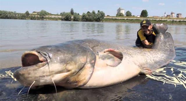 Naturaleza Pregunta Trivia: ¿De dónde es originario el pez siluro?
