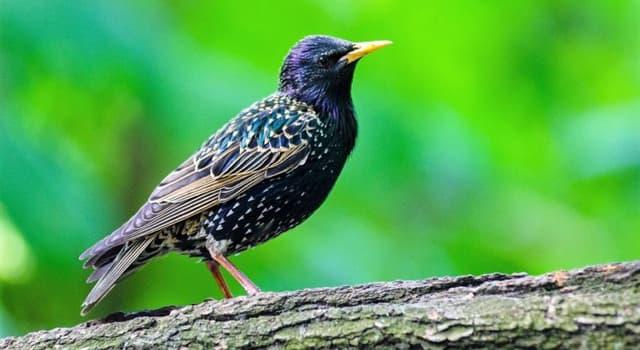 """Naturaleza Pregunta Trivia: ¿De qué ecozona es nativa el ave llamada """"estornino pinto""""?"""
