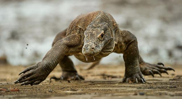 """Naturaleza Pregunta Trivia: ¿De qué país es endémico el lagarto de mayor tamaño del mundo denominado """"El dragón de Komodo""""?"""