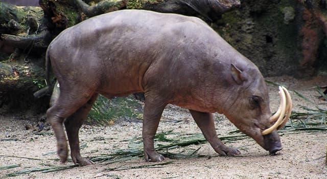 Naturaleza Pregunta Trivia: ¿De qué país es nativo el mamífero llamado babirusa especie de mamífero artiodáctilo?