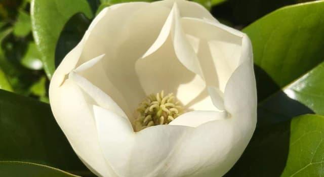 """Naturaleza Pregunta Trivia: ¿De qué país es originaria la flor """"Magnolia grandiflora""""?"""