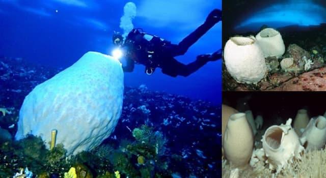 "Naturaleza Pregunta Trivia: ¿De qué zona marina con respecto a la temperatura es propia la esponja denominada ""Scolymastra joubini""?"