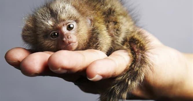 Natur Wissensfrage: Die Affen welcher Art gelten als die kleinsten Affen der Welt?