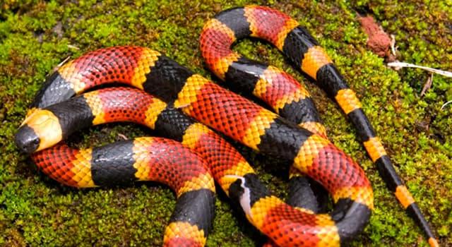 """Naturaleza Pregunta Trivia: ¿En cuántos grupos se distinguen las """"serpientes de coral""""?"""