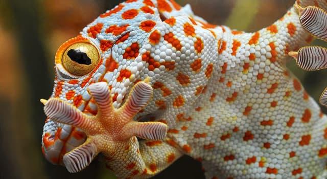Naturaleza Pregunta Trivia: ¿En qué continente se encuentra el gecko tokay?