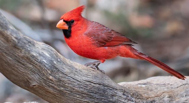 Naturaleza Pregunta Trivia: ¿En qué continente habita el cardenal rojo también llamado cardenal norteño?