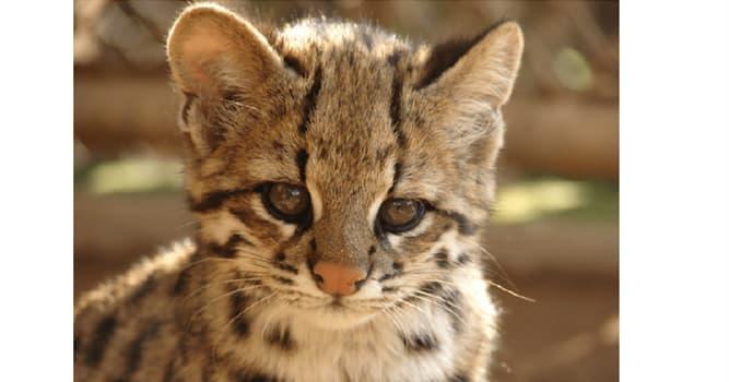 """Naturaleza Pregunta Trivia: ¿En qué dos países habita el """"gato herrumbroso"""" la especie más pequeña de gato salvaje existente?"""