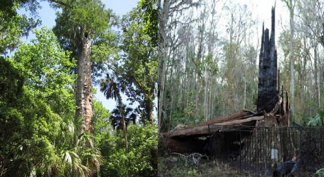 """Naturaleza Pregunta Trivia: ¿En qué estado de Estados Unidos se encontraba el árbol """" El Senador"""" considerado el más viejo de su especie?"""