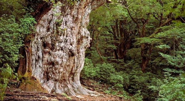 Geografía Pregunta Trivia: ¿En qué isla de Japón se encuentra el gran árbol milenario llamado Jōmon Sug?