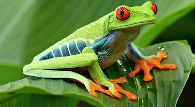 Naturaleza Pregunta Trivia: ¿En qué países habita la rana verde de ojos rojos?