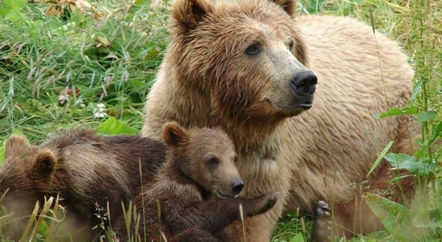 Naturaleza Pregunta Trivia: ¿Cuántas especies de oso gris hay en Norteamérica?