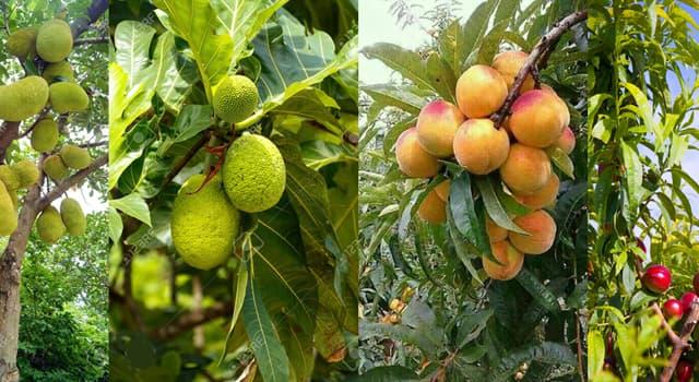 Geografía Pregunta Trivia: ¿Qué árbol produce la fruta nacional de Bangladés y de Indonesia?