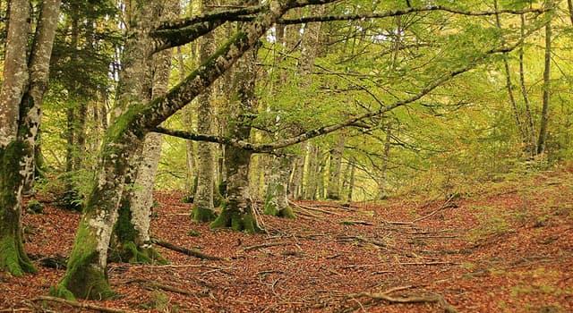 Cultura Pregunta Trivia: ¿Qué es El Bosque o Selva de Irati?