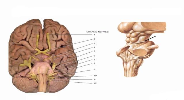 Сiencia Pregunta Trivia: ¿Qué movimientos coordina el nervio craneal llamado hipogloso?