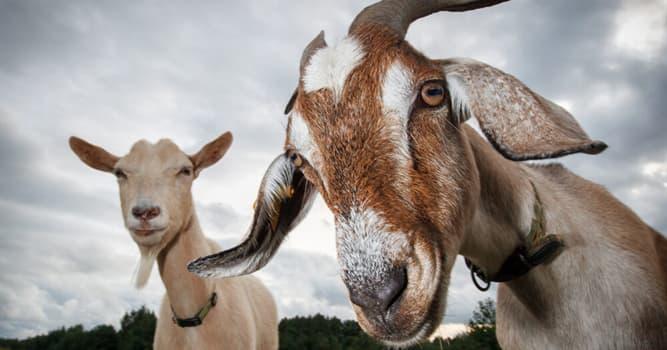 Naturaleza Pregunta Trivia: ¿Qué tienen como particularidad las cabras con respecto a los demás animales?