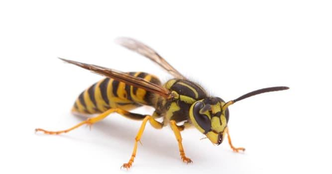 Naturaleza Pregunta Trivia: ¿Qué tipo de avispa es ésta?
