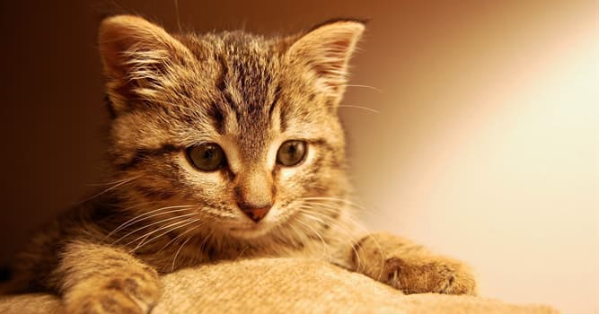 Gesellschaft Wissensfrage: Welche ist die teuerste Katzenrasse der Welt?