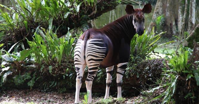 Natur Wissensfrage: Wer ist der Verwandte von Okapi?