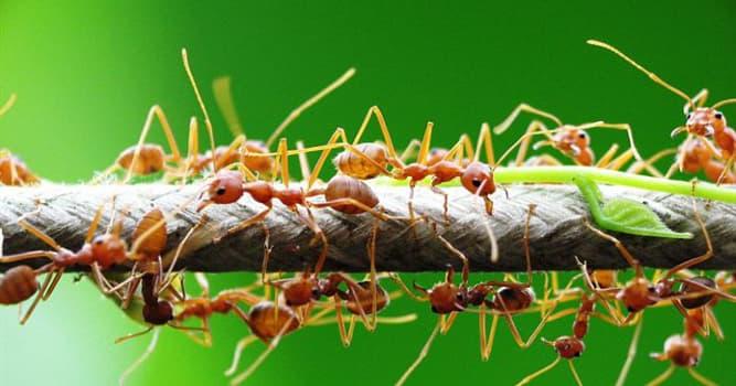 Naturaleza Pregunta Trivia: ¿Qué hongo puede influenciar el comportamiento de las hormigas?