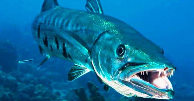 Naturaleza Pregunta Trivia: ¿A qué género de peces pertenecen las barracudas?