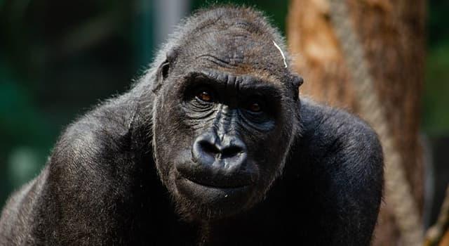 Naturaleza Pregunta Trivia: ¿Cuál es el estado de conservación de los gorilas oriental y occidental?