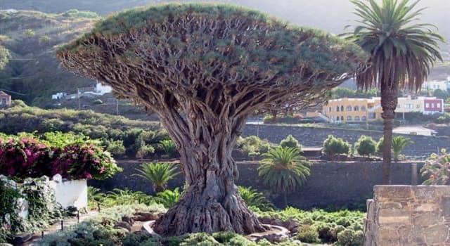 """Cultura Pregunta Trivia: ¿Cuál de las siguientes afirmaciones sobre el """"drago milenario"""" de Tenerife es cierta?"""