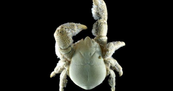 Naturaleza Pregunta Trivia: ¿Cuál es el nombre común del cangrejo Kiwa tyleri de la imagen?