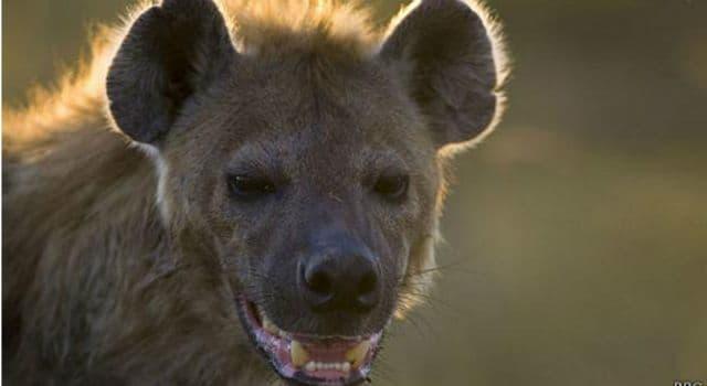 Naturaleza Pregunta Trivia: ¿Cuál es la especie de hiena de mayor tamaño?