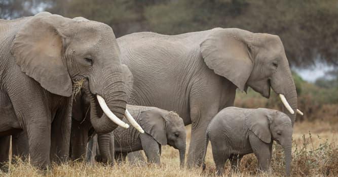 Naturaleza Pregunta Trivia: ¿Cuál es la frecuencia, en latidos por minuto, del corazón de los elefantes?