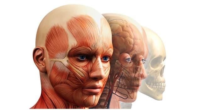 Naturaleza Pregunta Trivia: ¿Cuál es la función del músculo masetero en el cuerpo humano?