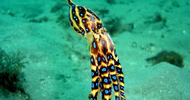 Naturaleza Pregunta Trivia: ¿Cuántas especies forman la familia de Hapatochlaenan o pulpos de anillos azules?