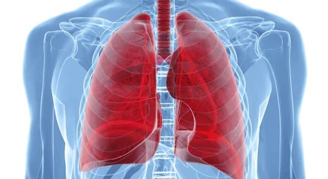 Naturaleza Pregunta Trivia: ¿Cuántos alvéolos posee entre los dos pulmones el cuerpo humano de un adulto?