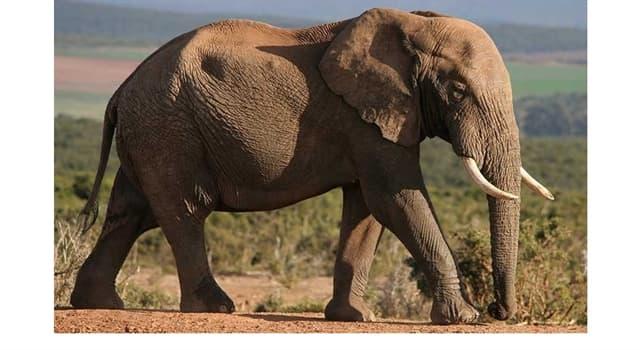 Naturaleza Pregunta Trivia: ¿Cuántos dedos tiene en cada pata trasera el elefante africano?