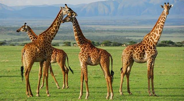 Naturaleza Pregunta Trivia: ¿Cuántas vértebras cervicales tiene el cuello de una jirafa?