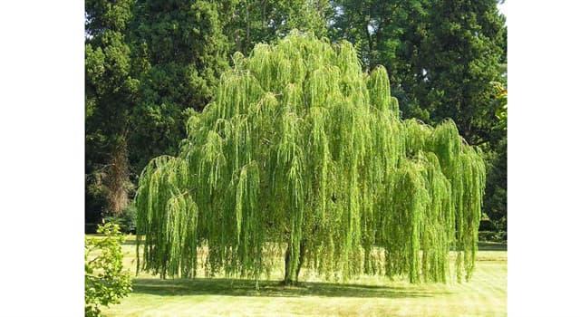 """Naturaleza Pregunta Trivia: ¿De dónde es nativo el árbol llamado """"Sauce llorón""""?"""