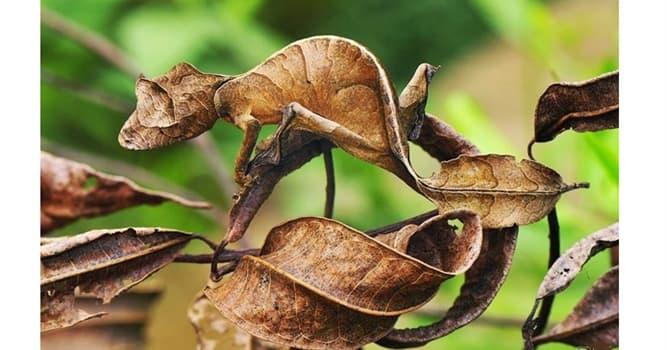 """Naturaleza Pregunta Trivia: ¿De qué isla es endémico el reptil llamado """"gecko cola de hoja satánico""""?"""