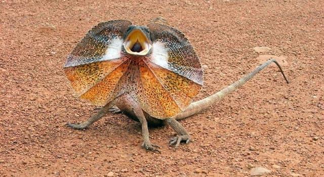 Naturaleza Pregunta Trivia: ¿De qué países es endémico el lagarto de cuello con volantes?