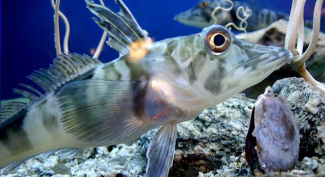"""Naturaleza Pregunta Trivia: ¿En dónde habitan los peces llamados """"dracos""""?"""
