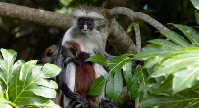 Naturaleza Pregunta Trivia: ¿En qué área de la República Democrática del Congo se encontraron ejemplares del mono colobo rojo de Bouvier?