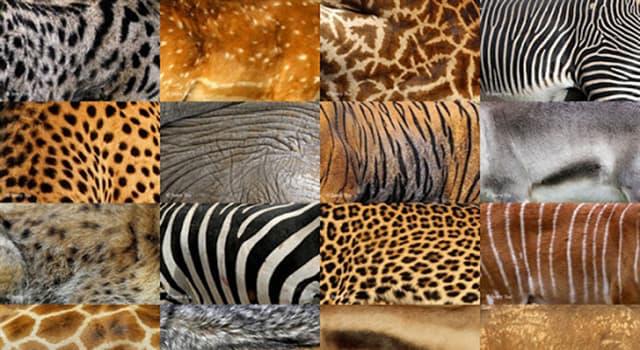 Naturaleza Pregunta Trivia: ¿En qué parte del cuerpo tiene rayas blancas el Okapi?