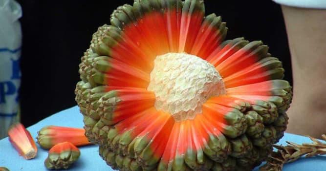 Naturaleza Pregunta Trivia: ¿En qué región el fruto del árbol Hala Aka Puhala es una fuente muy importante de alimento?