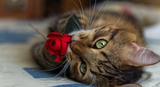 Naturaleza Pregunta Trivia: ¿Cuál de las siguientes razas de gato no existe?