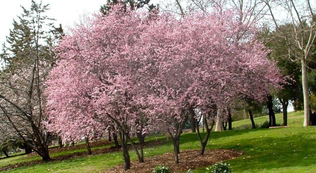 Naturaleza Pregunta Trivia: ¿Para qué tipo de medicina alternativa es usada la planta Prunus cerasifera conocida como ciruelo de jardín?