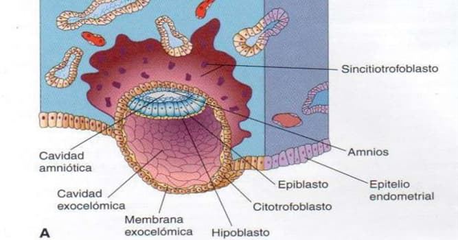 Сiencia Pregunta Trivia: ¿Qué es el sincitiotrofoblasto?