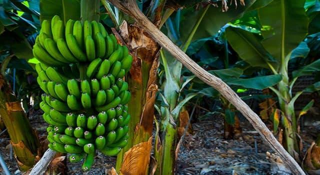 Naturaleza Pregunta Trivia: ¿Qué es la Sigatoka negra?