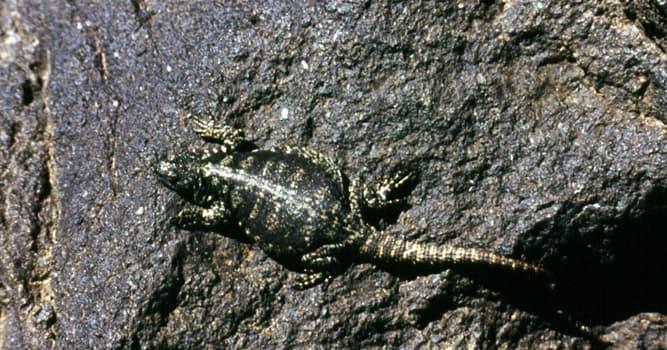 Naturaleza Pregunta Trivia: ¿Qué especie de lagarto se muestra en la imagen?