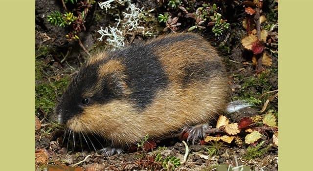 Naturaleza Pregunta Trivia: ¿Qué hacen los roedores llamados lemmings para controlar el aumento de población?