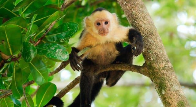 Naturaleza Pregunta Trivia: ¿Qué otro nombre recibe el mono capuchino?