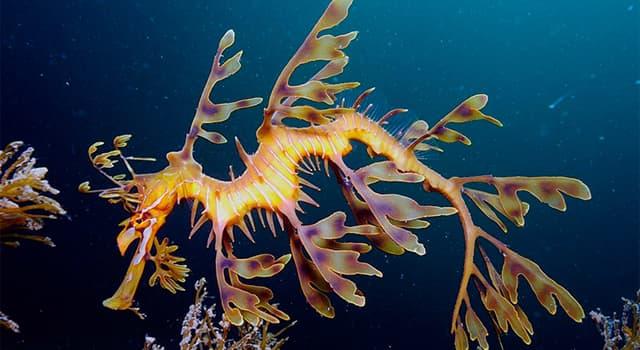 """Naturaleza Pregunta Trivia: ¿Qué particularidad posee el pez llamado """"El dragón de mar foliado""""?"""