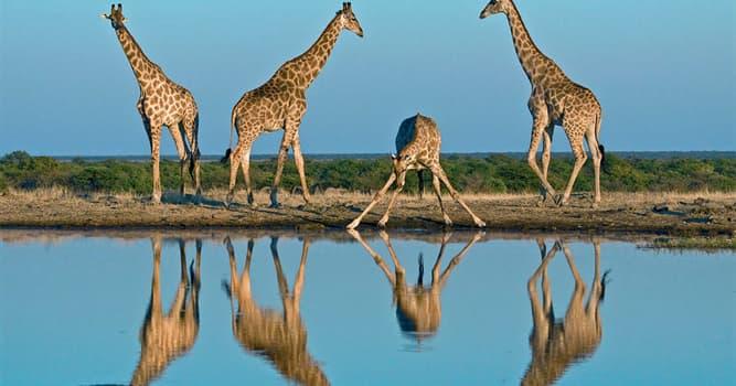 Natur Wissensfrage: Stimmt es, dass Giraffen ohne Wasser länger als Kamele überleben können?